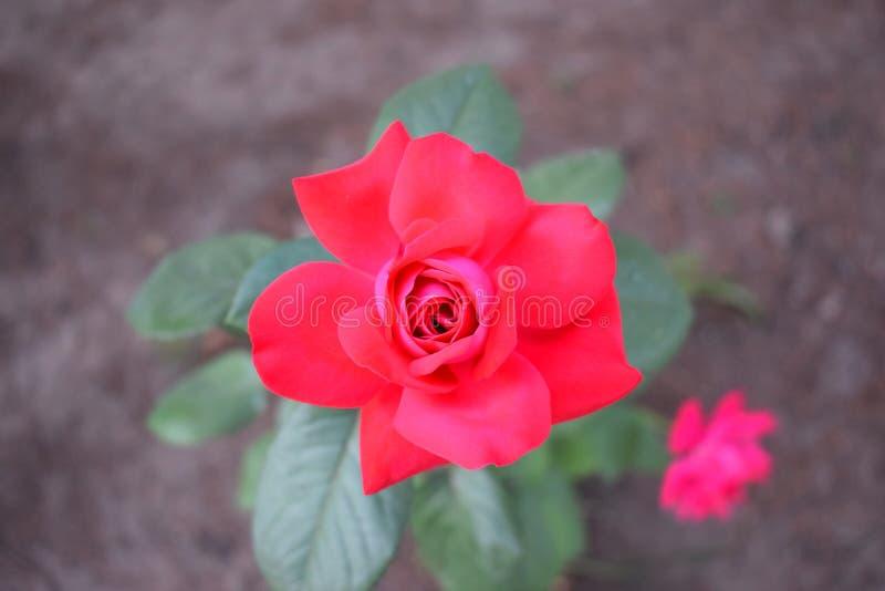 Красная роза в саде стоковая фотография rf