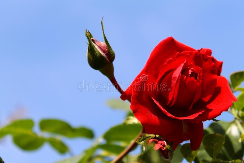 Красная роза в солнце обои лета абстрактного утра естественные стоковое изображение rf