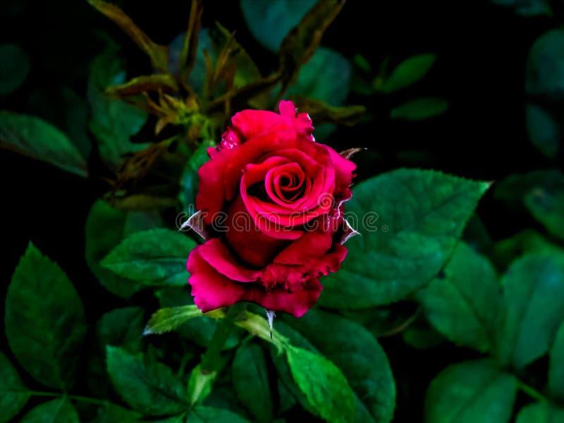 Красная роза в темной ой-зелен предпосылке стоковая фотография rf