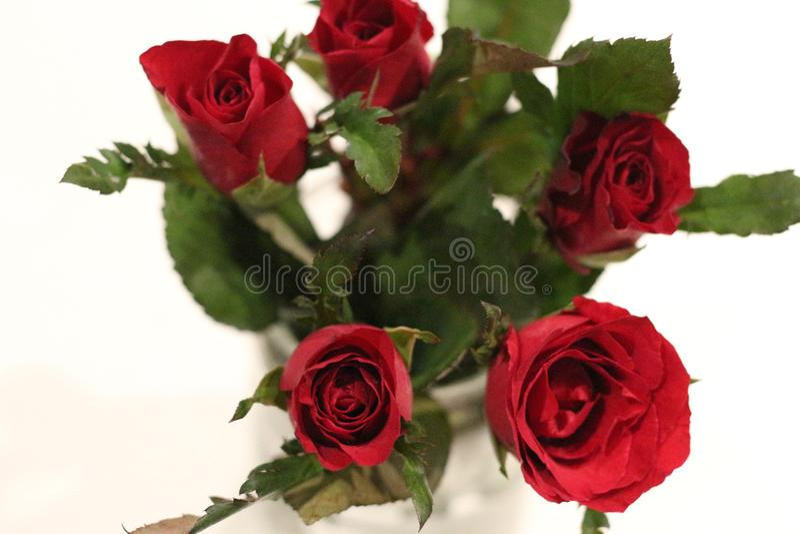 Красная роза в цветке Thailad для влюбленности стоковое изображение rf