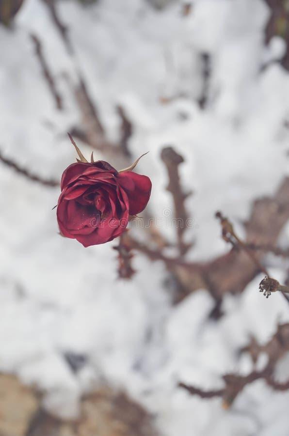 Красная роза в wintergarden стоковая фотография