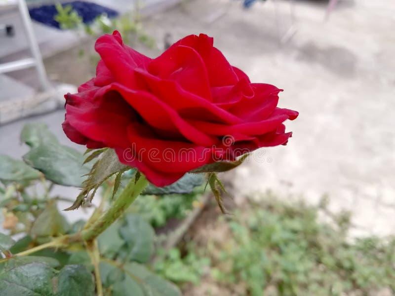 Красная роза для моей девушки стоковое изображение rf