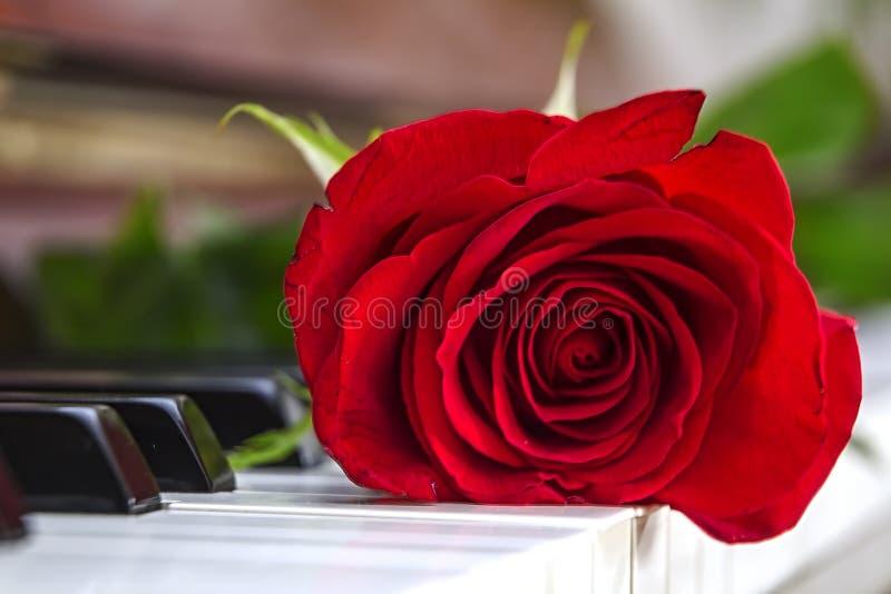 Красная роза лежит на рояле стоковые изображения rf