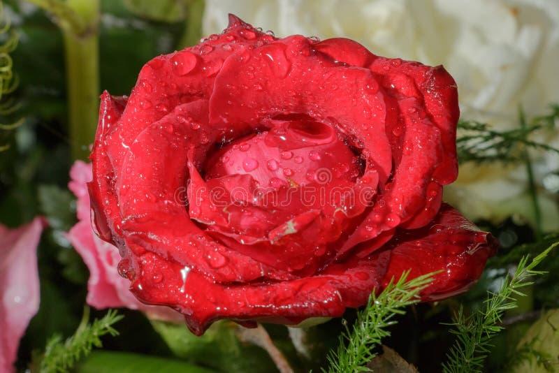 Красная роза крупного плана влажная стоковое изображение