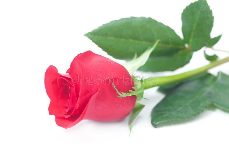 Красная роза на белизне стоковое фото rf