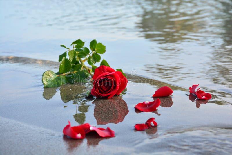 Красная роза на море стоковые изображения rf