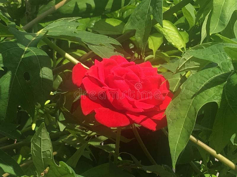 Красная роза на пике стоковое изображение