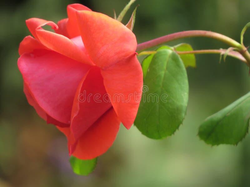 Красная роза падает естественно стоковая фотография rf
