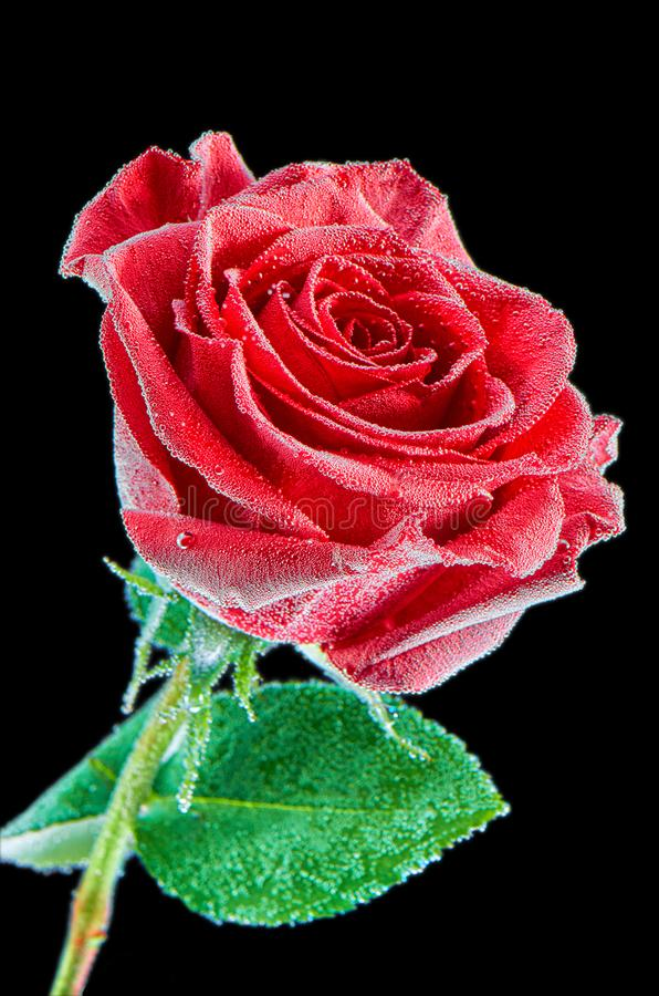 Красная роза под водой с пузырями на черной предпосылке Изображение крупного плана изолированное на черной предпосылке стоковое фото