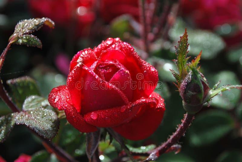 Красная роза покрытая росой стоковое изображение rf