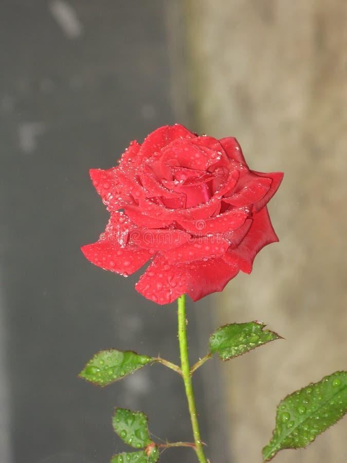 Красная роза покрытая с росой стоковое фото rf