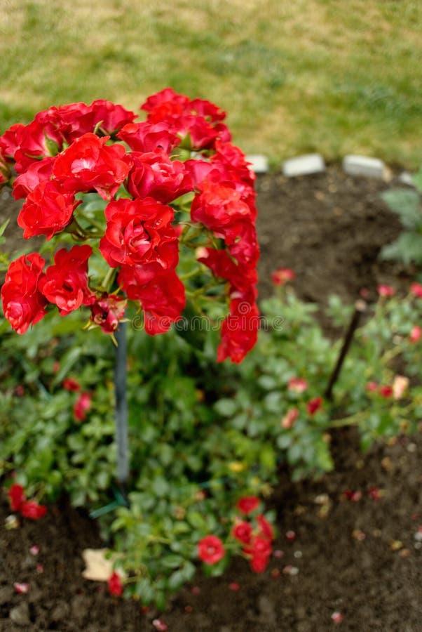 Красная роза после дождя лета стоковое фото