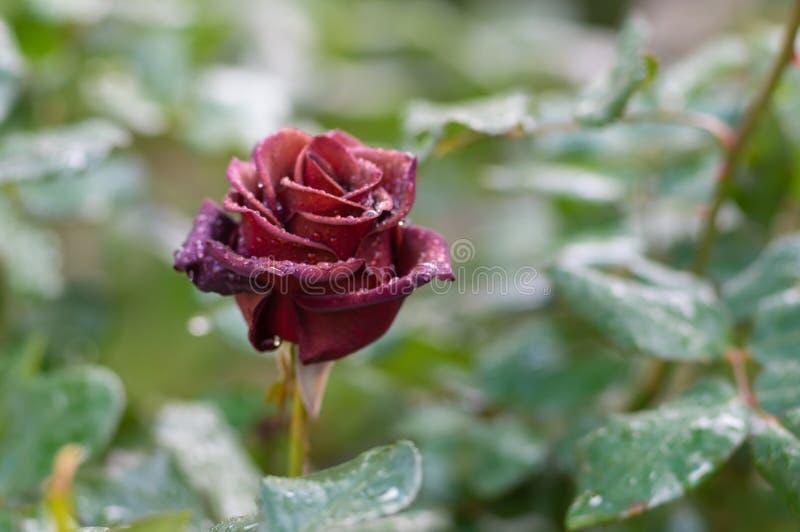 Красная роза предусматриванная с падениями росы утра на лепестках в саде утра стоковое изображение rf