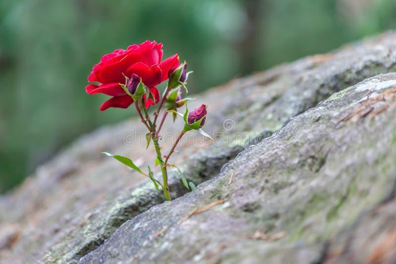 Красная роза растет в crevice стоковые фото