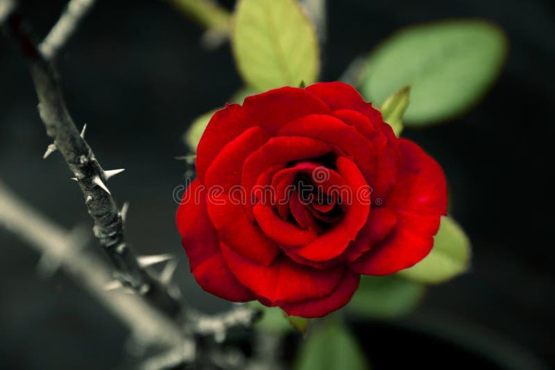 Красная роза рядом с терновым стержнем стоковая фотография rf