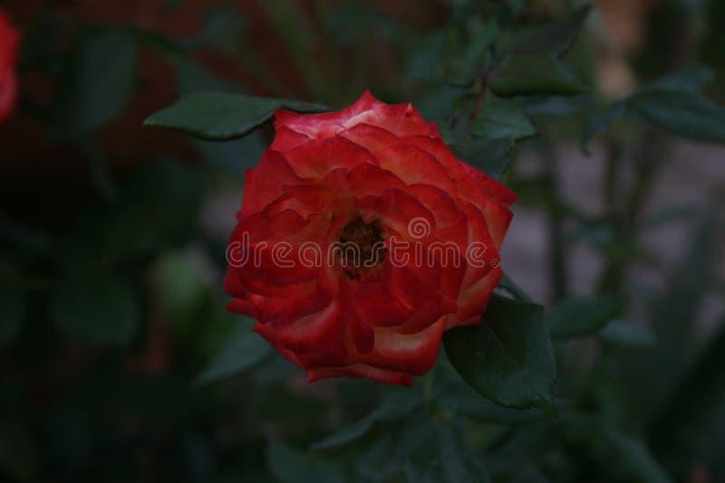 Красная роза самостоятельно стоковая фотография rf