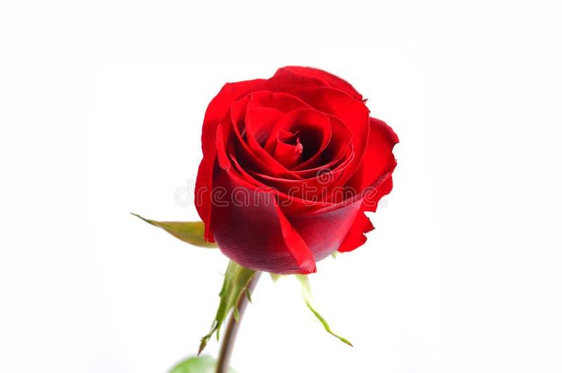 Красная роза с белой предпосылкой стоковые изображения rf