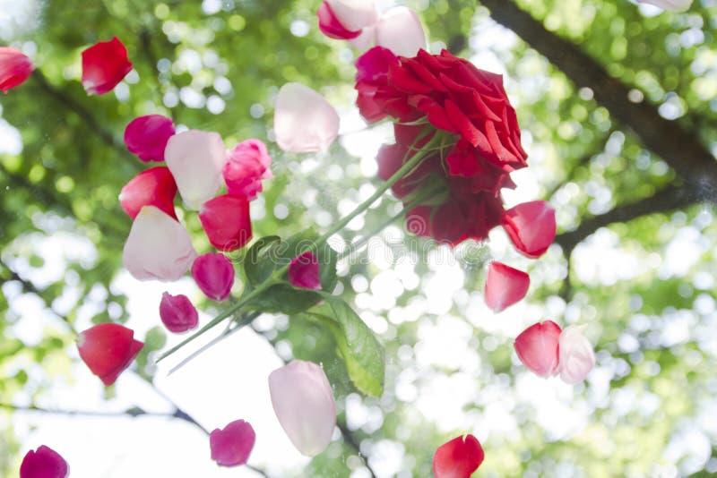 Красная роза с лепестками отражает стоковое фото rf