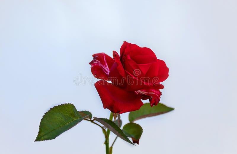 Красная роза с зелеными листьями изолированными на белой предпосылке стоковая фотография