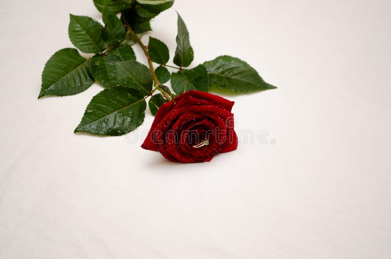 Красная роза с кольцом между лепестками стоковое изображение rf