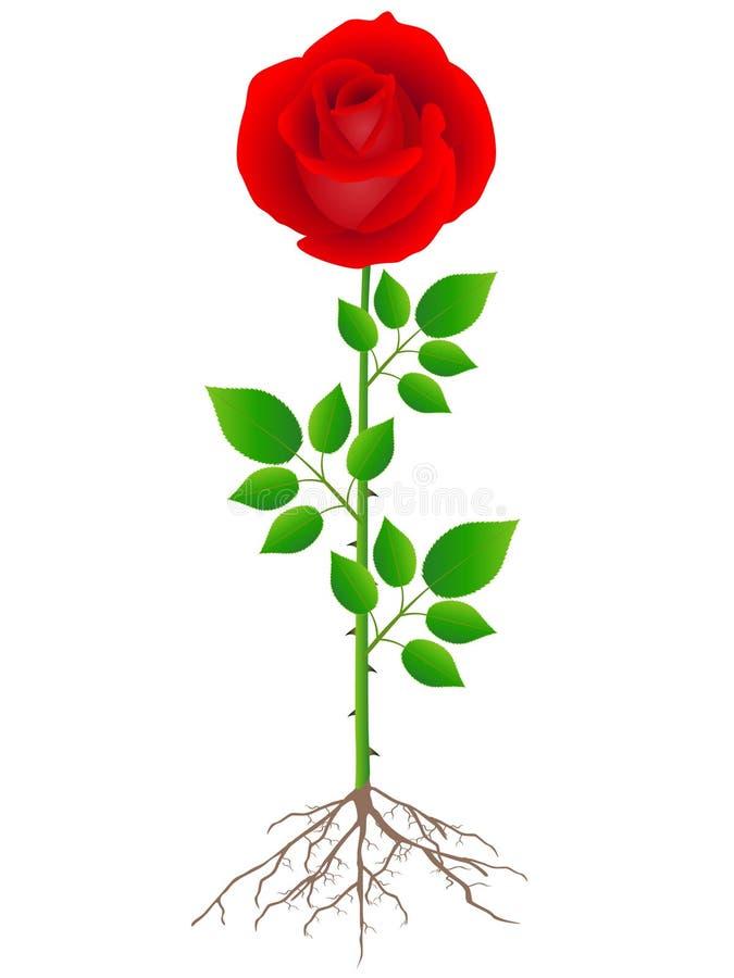 Роза с корнями картинка