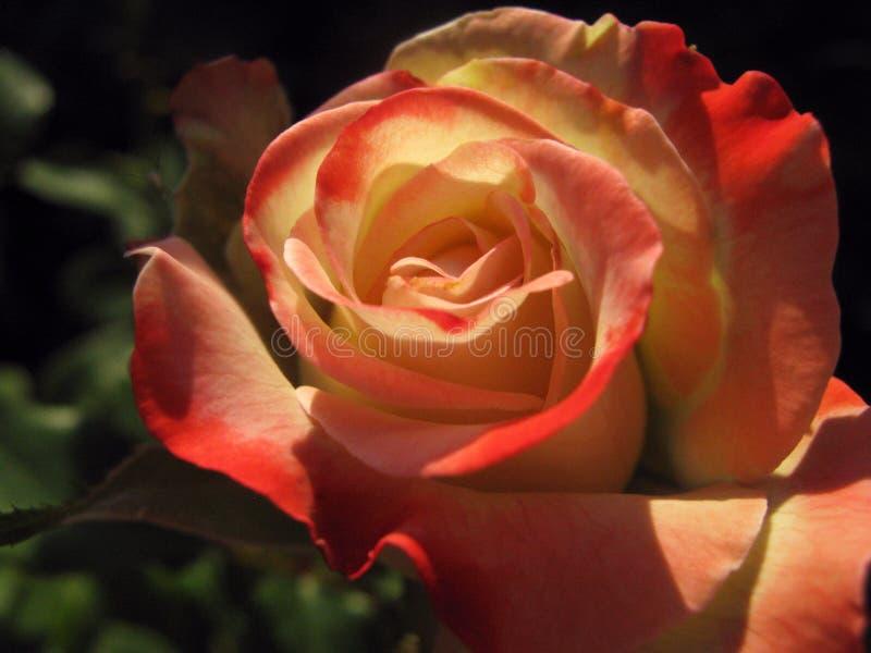 Красная роза с мягкими тенями стоковая фотография