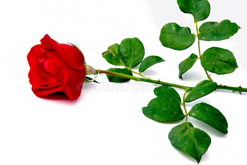Красная роза с разрешением, изолированным на белой предпосылке стоковые фотографии rf