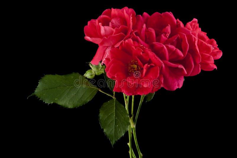 Красная роза чая изолированная на черноте стоковое фото