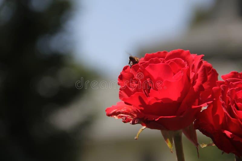 Красная роза, шмель, красивая природа стоковые фото