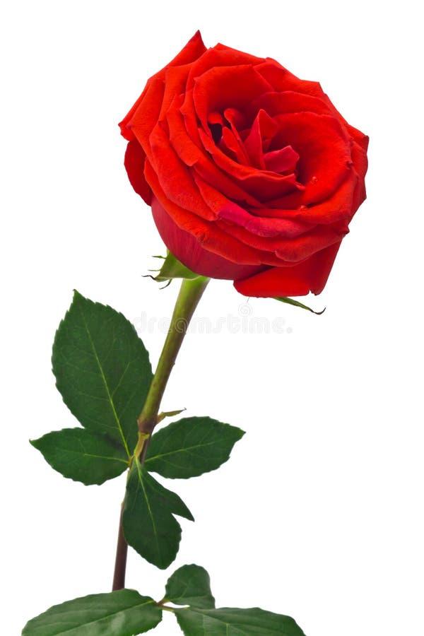 Download Красная роза стоковое фото. изображение насчитывающей подарок - 36441578