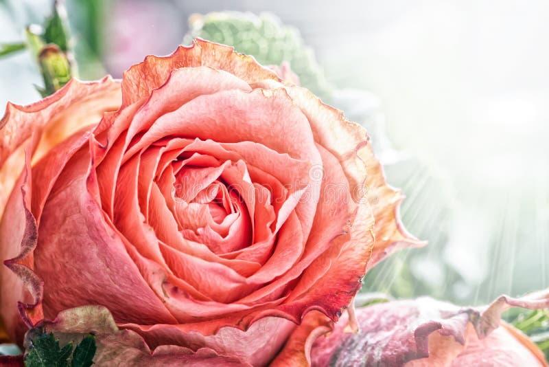 Красная роза стоковое фото rf