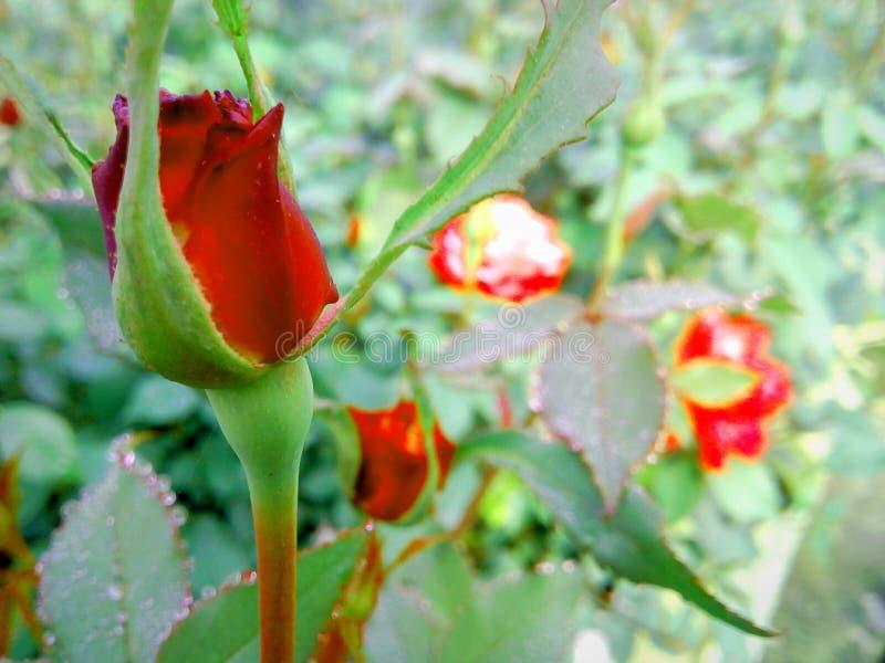 Красная роза Awsom стоковое фото