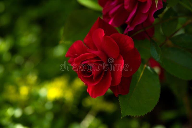 Красная роза Beautful одиночная стоковая фотография