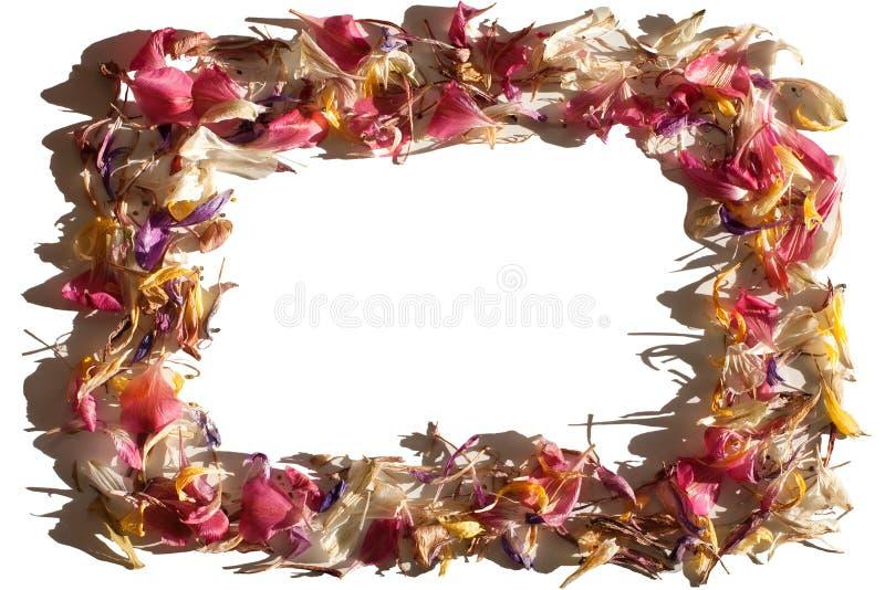 Красная, розовая, желтая рамка лепестков цветка в солнечном свете на белой предпосылке изолированной близко вверх, граница лепест стоковые фото