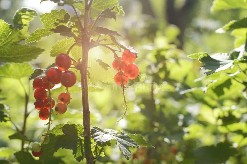 Красная смородина в саде в лучах заходящего солнца Концепция лета, природы, витаминов крупный план, мягкий фокус стоковое фото