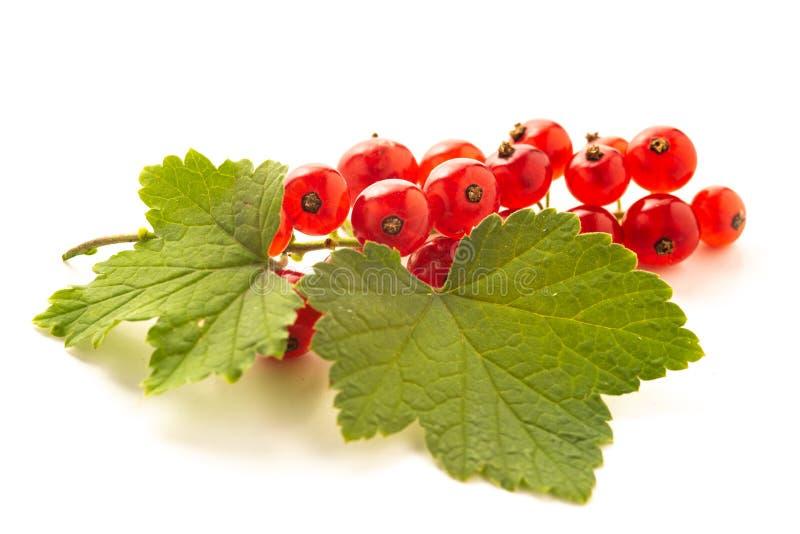 Красная смородина с зелеными листьями изолированными на белизне стоковые изображения rf