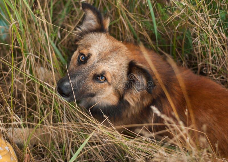 Красная собака лежа в траве стоковое изображение