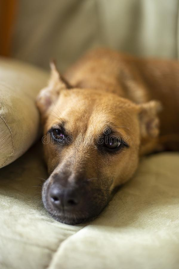 Красная собака смотрит виновно прочь стоковое изображение rf