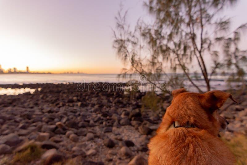 Красная собака смотрит на закат стоковые изображения
