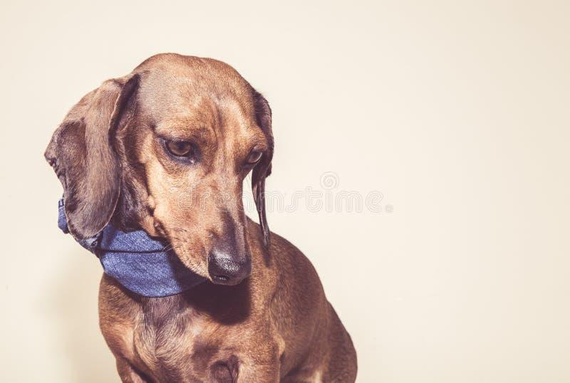 Красная собака таксы с стеклами солнца или шарфами бабочки стоковая фотография