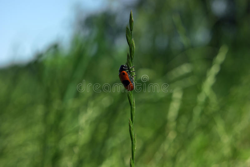 Красная черепашка взбираясь вверх трава стоковое фото rf