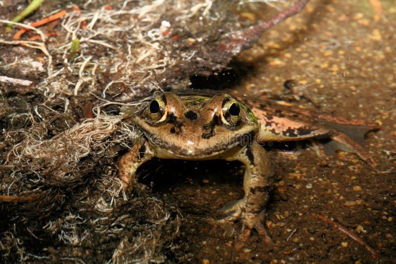 Красная шагающая лягушка в пруде стоковые фотографии rf