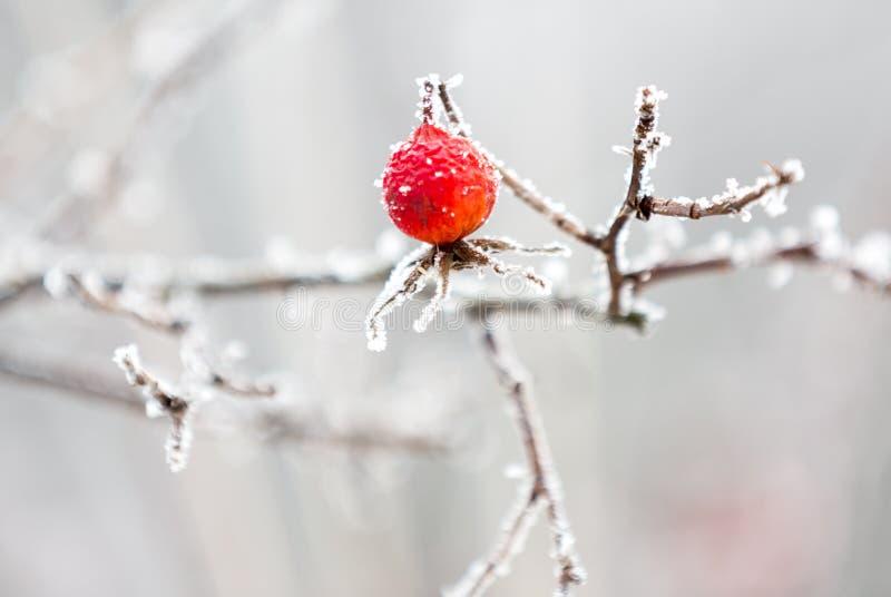 Красная ягода собак-Розы стоковые изображения