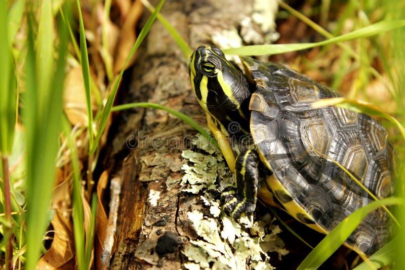 Красный Eared взбираться черепахи стоковые фотографии rf