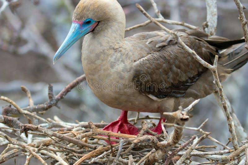 Красная Footed птица олуха на островах Галапагос стоковые изображения rf