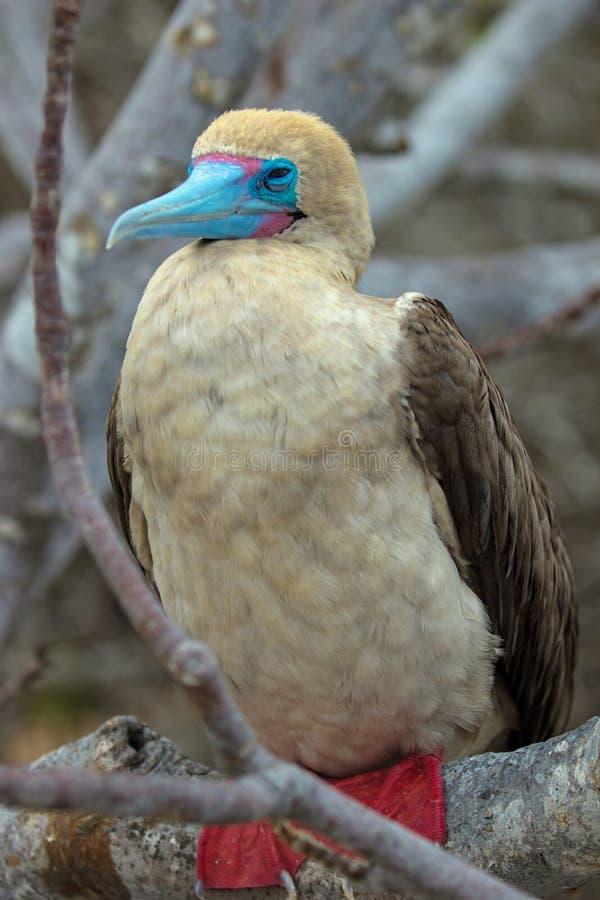 Красная Footed птица олуха на островах Галапагос стоковое изображение rf