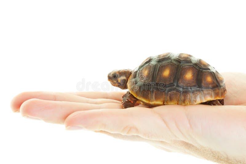 Красная Footed черепаха в руке стоковые изображения