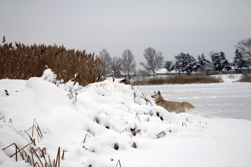 Красная foxy собака охотясь в тростниках в замороженном озере стоковые изображения rf