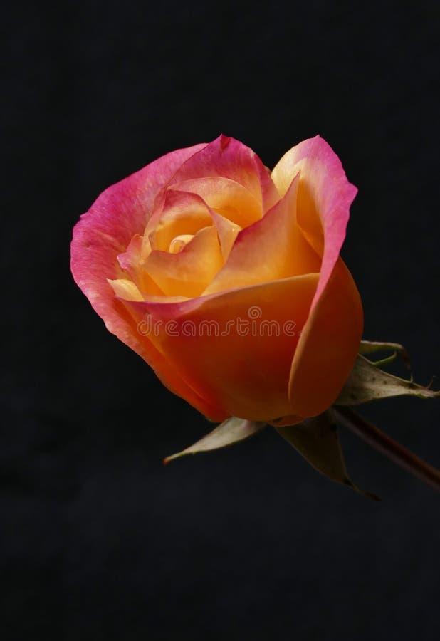 Краснея пинк Роза стоковые изображения