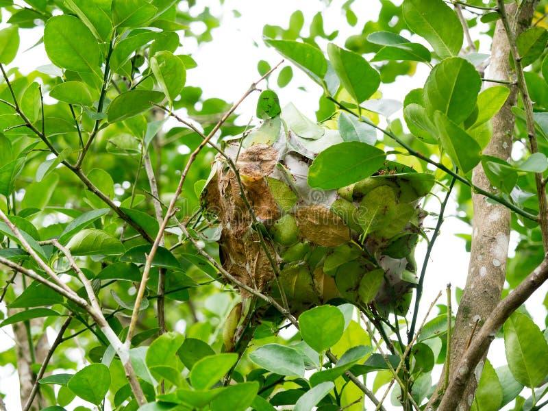 Красное гнездо муравья на дереве в природе Гармоничный животной концепции стоковое фото rf